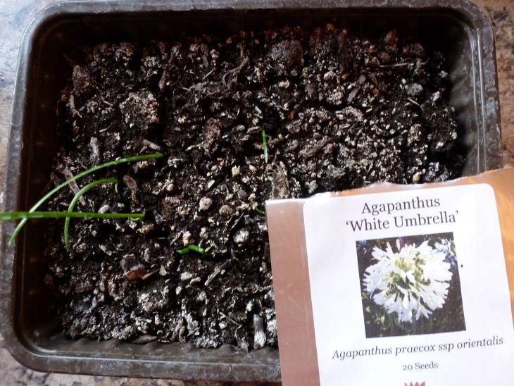 Agapanthus seedlings