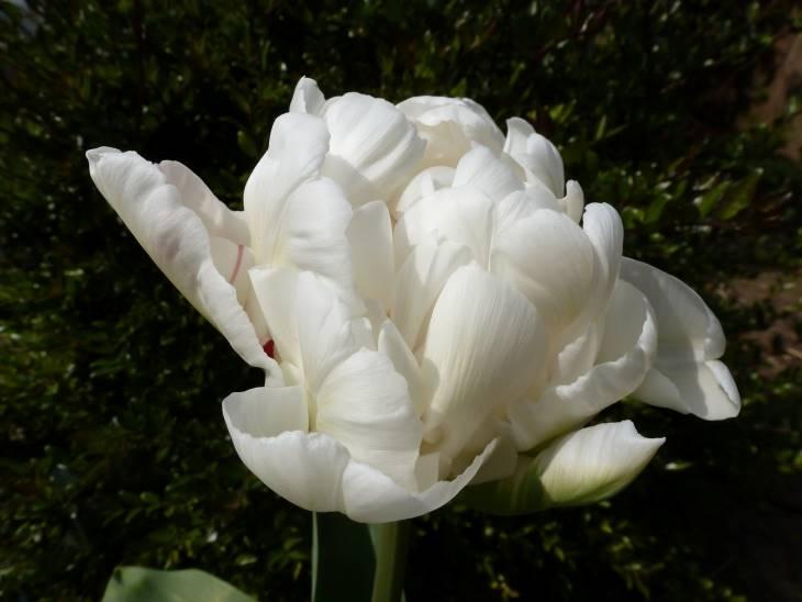 White Tulip 'Mondial'